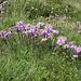 Alpen-Aster Kolonie (Aster alpinum)