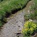 Bärgwasser mit Bewimpertem Steinbrech (Saxifraga aizoides)