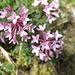 Steinröschen (Daphne striata) - ein kalkliebender Seidelbast