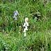 blau und weiß, eine recht seltene weiße Glockenblume