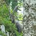 Ein Steinbock schleicht durch den Wald