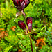 Purpurenzian (Gentiana purpurea)