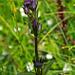 Moorenzian (Swertia perennis)