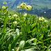 Am Südgrat hat es einen schönen Bestand von Allermannsharnisch (Allium victorialis)