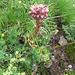 Sempervivum tectorum subsp. alpinum (Griseb. & Schenk) Arcang<br />Crassulaceae<br /><br />Semprevivo delle Alpi.<br />Joubarbe des Alpes.<br />Alpen-Dach-Hauswurz.