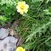 Geum reptans L.<br />Rosaceae<br /><br />Cariofillata delle pietraie.<br />Benoite rampante.<br />Kriechende Nelchenwurz.