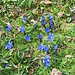 Gentiana bavarica<br />Gentianaceae<br /><br />Genziana bavarese.<br />Gentiane de Bavière.<br />Bayerische Enzian.<br />