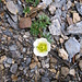 Ranunculus glacialis L. Ranunculaceae  Ranuncolo glaciale. Renoncule des glaciers. Gletscher-Hahnenfuss.