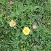 Geum reptans L.<br />Rosaceae<br /><br />Cariofillata delle pietraie.<br />Benoite rampante.<br />Kriechende Nelchelwurz.