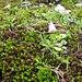 Soldanella pusilla Baumg.<br />Primulaceae<br /><br />Soldanella della silice.<br />Petite soldanelle.<br />Kleines Alpengloeckchen.
