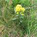 Solidago virgaurea L.s.str.<br />Asteraceae<br /><br />Verga d'oro comune.<br />Solidage verge d'or.<br />Gewoehnliche Goldrute.<br /><br />