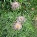 Pulsatilla alpina subsp. apiifolia (Scop.) Nyman<br />Ranunculaceae<br /><br />Pulsatilla sulfurea.<br />Pulsatille soufrée.<br />Schwefwel-Anemone.<br /><br />