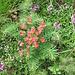 Euphorbia cyparissias L.<br />Euphorbiaceae<br /><br />Euforbia cipressina.<br />Euphorbe petit cypres.<br />Zipressenblättrige Wolfsmilch.
