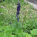 Aconitum compactum (Rchb:) Gàyer<br />Ranunculaceae<br /><br />Aconito napello.<br />Aconite compact.<br />Dichtblütiger Blau-Eisenhut.