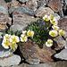 <b>Il ranuncolo glaciale spalanca i propri fiori: il rosa-purpureo del lato inferiore dei petali viene sostituito dal bianco sfavillante. </b>