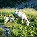 Capanna Ribia - Schaf mit Jungem