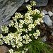 Auf der Bocchetta di Ghiacciaione - Viele schöne Bergblumen