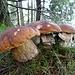 eine weitere Gruppe der äusserst schmackhaften Pilze