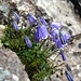 Blumen Schwarzenkopf