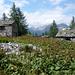 Alpe Orsalia, 1701m - Sauerampfern als Zeuge ehemaliger Milchwirtschaft