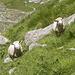 Simpatiche pecorelle