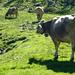 Alpe di Sfii ist bestossen mit Kühen