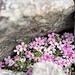 Auf fast 3300 Metern Höhe kauert sich ein winziges Blütenpolster (Alpen-Mannsschild) zwischen die Steine.