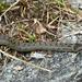 Schlingnatter (Glattnatter) frisst Eidechsen, Blindschleichen, junge Schlangen, junge Mäuse; Beutetiere werden durch Umschlingen getötet, daher der Name.