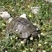 Und immer und immer wieder Schildkröten...