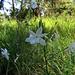 Graslilie am Anstieg zum Reisberg