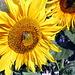 Sonnenblume mit Schwebfliege am Reisberg