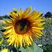 Sonnenblumen am Reisberg