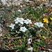 Auch auf der Südseite des Piz S-chalambert Dadora hat es wieder massenweise Edelweiss