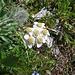 Achillea atrata L.<br />Asteraceae<br /><br />Millefoglie del calcare.<br />Achilée noiratre.<br />Schwarze Schafgarbe.
