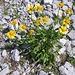 Doronicum grandiflorum Lam.<br />Asteraceae<br /><br />Doronico dei macerati.<br />Doronic à grandes fleurs.<br />Grosskoepfige Gämswurz.