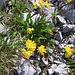 Anthyllis vulneraria L.s.str.<br />Fabaceae<br /><br />Vulneraria comune.<br />Anthyllide vulnerairie.<br />Gewoenlicher Wundklee.