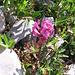 Pedicularis kerneri Dalla Torre<br />Orobanchaceae (incl. Scrophulariaceae p.p.)<br /><br />Pediculare di Kerner.<br />Pédiculaire de Kerner.<br />Kerner Läusenkraut.