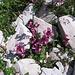 Pedicularis kerneri Dalla Torre.<br />Orobanchaceae (incl. Scrophulariaceae p.p.)<br /><br />Pediculare di Kerner.<br />Pédiculaire de Kerner.<br />Kerner Läusenkraut.