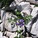 Viola calcarata L.<br />Violaceae<br /><br />Viola con sperone.<br />Pensée éperonée.<br />Langsporniges Stiefmütterchen.<br />