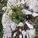 Saxifraga paniculata Mill.<br />Saxifragaceae<br /><br />Sassifraga alpina.<br />Saxifrage paniculée.<br />Trauben-Steinbrech.