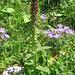Pedicularis rostrato-capitata subsp. helvetica ???