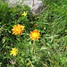 Crepis aurea (L.) Cass.<br />Asteraceae<br /><br />Radichiella aranciata.<br />Crépide orangée.<br />Gold-Pippau.