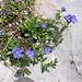 Veronica fruticans Jacq.<br />Plantaginaceae (incl. Scrophulariaceae p.p.)<br /><br />Veronica fruticosa.<br />Véronique buissonnante.<br />Felsen-Ehrenpreis.