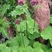 Adenostyles alliarae (Gouan) A. Kern.<br />Asteraceae<br /><br />Cavolaccio alpino.<br />Adénostyle à feuilles d'allaire.<br />Grauer Alpendost.