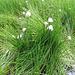 Eriophorum scheuchzeri Hoppe<br />Cyperaceae<br /><br />Pennacchi di Scheuchzer.<br />Linaigrette de Scheuchzer.<br />Scheuchzers Wollgrass.