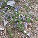 Campanula cochlearifolia Lam.<br />Campanulaceae<br /><br />Campanula dei ghiaioni.<br />Campanule naine.<br />Niedliche Glockenblume.