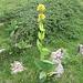 Gentiana lutea L.<br />Gentianaceae<br /><br />Genziana maggiore, Genziana gialla.<br />Gentiane jaune.<br />Gelber Enzian.