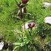Gentiana purpurea L.<br />Gentianaceae<br /><br />Genziana porporina.<br />Gentiane pourpre.<br />Purpur-Enzian.
