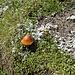 auch Pilze sind auf der Moräne vorhanden.
