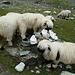 auch hier auf der Alp sind die Schafe am weiden.